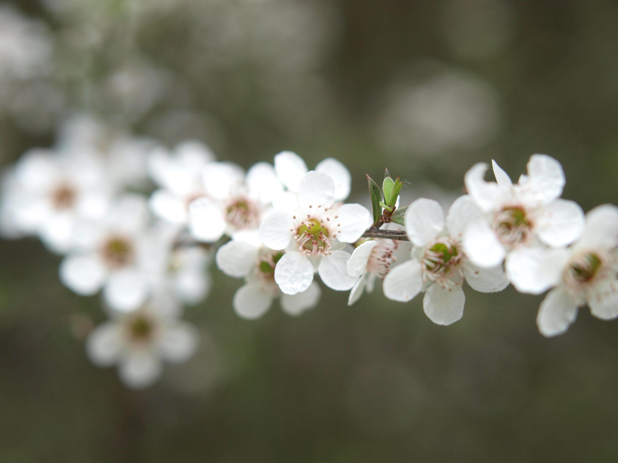 miele di manuka fiori
