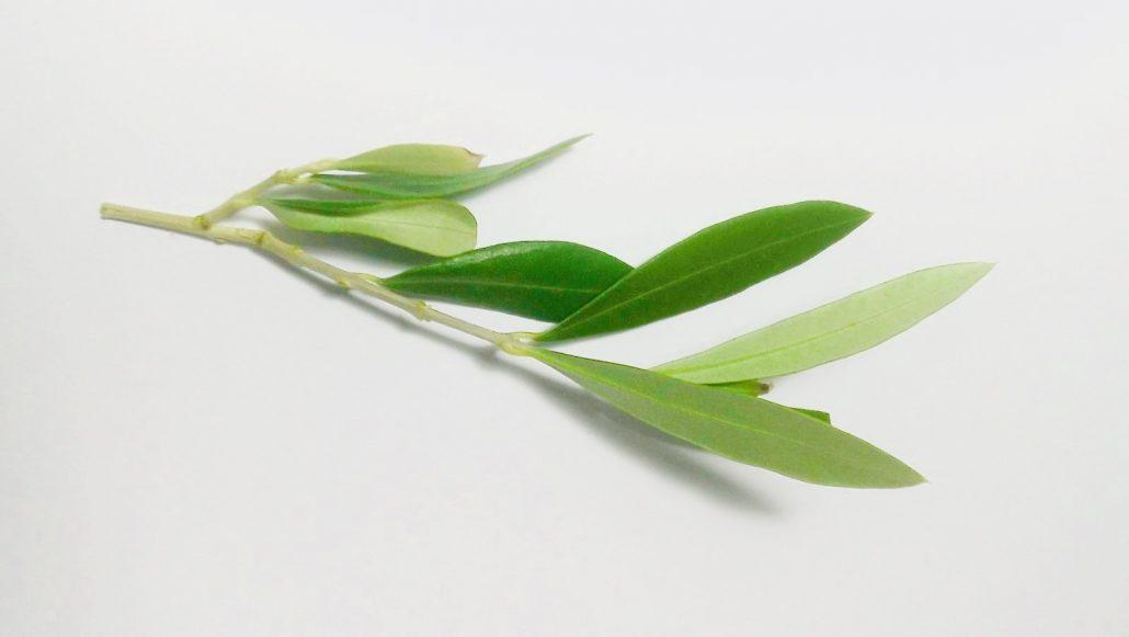 foglie di olivo e le sue innumerevoli proprietà