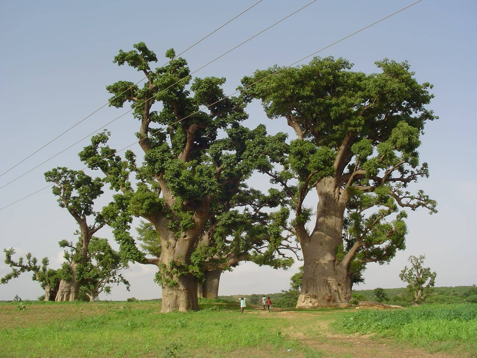 baobab alimentare