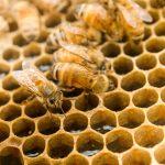 la differenza tra miele di manuka e altri mieli