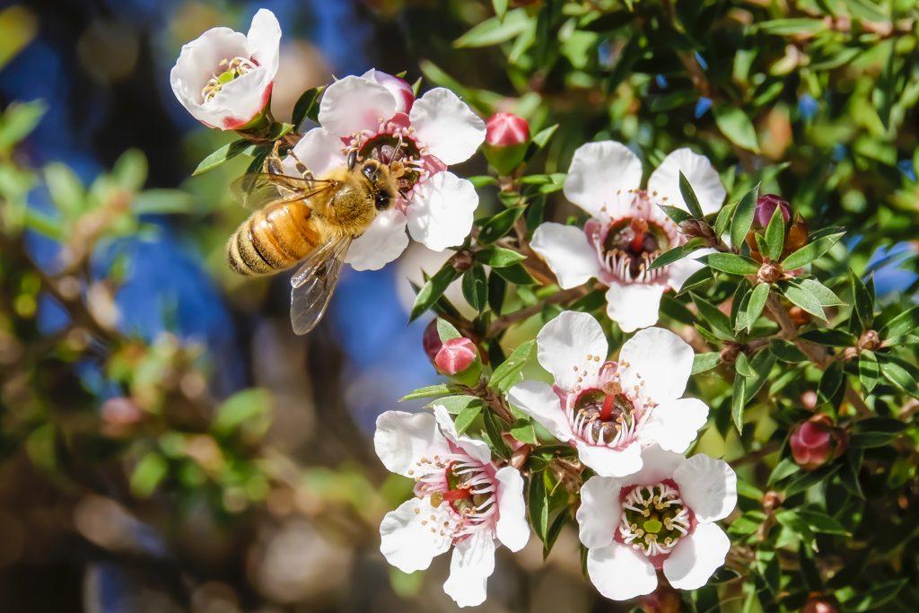 Fiori di Manuka da dove nasce il prezioso miele di Manuka